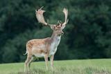 Fallow deer (Dama dama) - 232431550
