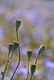 Fruchtkapseln vom Mohn in einer Detailaufnahme