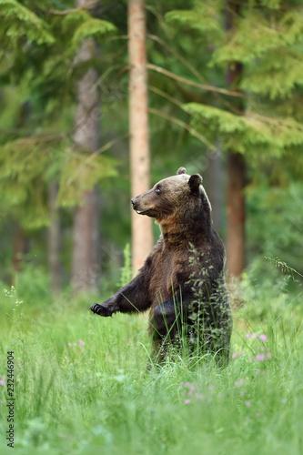 niedźwiedź stojący w leśnej scenerii