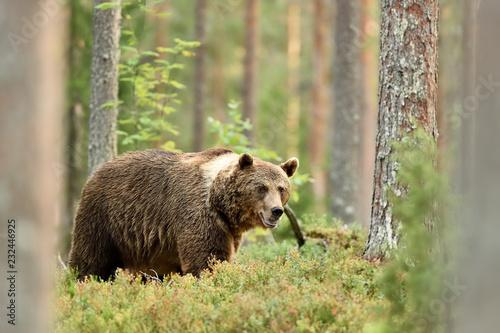 niedźwiedź w leśnej scenerii na lato