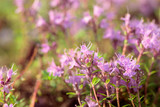 Uncultivated flowering thyme. - 232448778