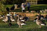 Geese being fed on large fresh water pond. - 232450935