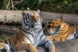 Siberian tiger watching