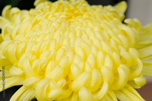 Foto Murales 黄色い菊の花びら