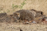 Cheetah sisters with impala kill - 232462758