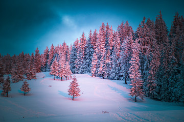 pink winter sunrise of snow covered firs - beautiful moutain landscape - Christmas backgrund