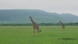 A giraffe shakes flies off itself as it walks across the the beautiful african savannah iof the national park of Mara Maasai captures a - 232478379