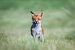 Leinwandbild Motiv Red fox (Vulpes vulpes)