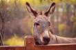 Leinwanddruck Bild - funny donkey domesticated member of the horse family.