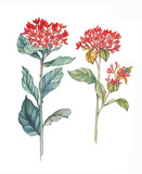 Hand-drawn watercolor illustration of the isolated bouvardia flowers. Tender spring drawing exotic flowers on the white background - 232493902