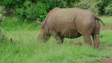 A medium shot of a rhinoceros grazing on some grass in a small clearing in Mara Maasai national park - 232496387