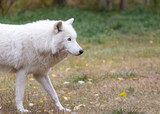 Wolf with snow flurries