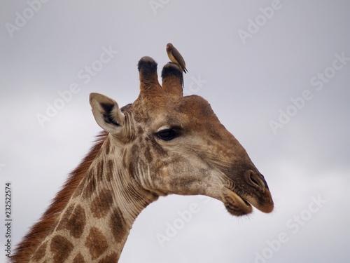 Fridge magnet Girafe