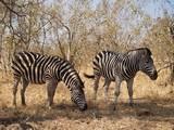zebres © sobreton