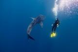 whale shark - 232536762