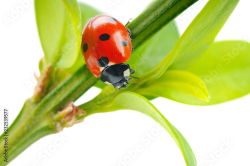 red ladybug on a green leaf in the grass isolated on a white background , close-up