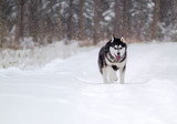 The dog runs through the winter forest