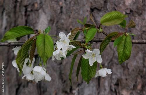 Foto Murales Apfelblüten am Baumstamm