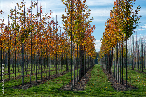 Foto Murales Public and privat garden, parks tree nursery in Netherlands, specialise in medium to very large sized trees, grey alder trees in rows in autumn