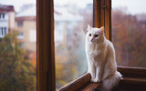 White furry domestic cat looking at window with reflection in daylight indoor