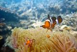 Pesce Pagliaccio e Anemoni - 232554785