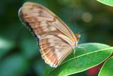 tan butterfly macro