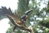 Caribbean Toucan in Costa Rica - 232559715