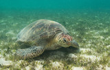 Green turtle rests in seagrass - 232573160
