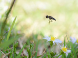 Macro photo of a flower fly (hover fly) flying over  tiny daisy flowers - 232574199