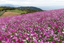 """Постер, картина, фотообои """"Cosmos flower field"""""""