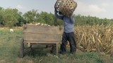Farmer unloading harvested corn from bamboo basket to wooden cart on the edge of the field ( close up ) - 232586989