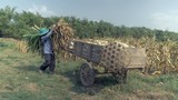 Farmer loading corn stalks over corn crops onto wooden cart on the edge of the field ( close up ) - 232594147