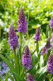 Baltic marsh-orchid or dactylorhiza majalis baltica purple flowers vertical - 232604181