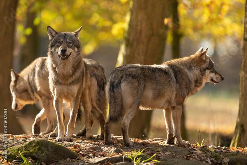 Leinwandbild Motiv Grey Wolf in the forest