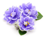 Violets beautiful flowers. - 232614718