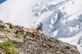 Animal cornes bouquetin des Alpes France chèvre de montagne