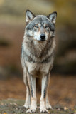 Grey wolf in the forest - 232619597