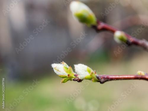 Foto Murales trees bloom in spring