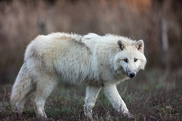 White wolf in the forest © ALEXANDRE