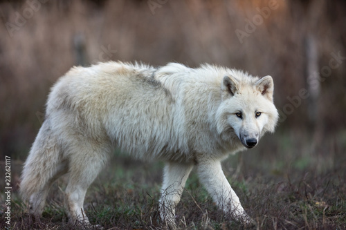 Wall mural White wolf in the forest