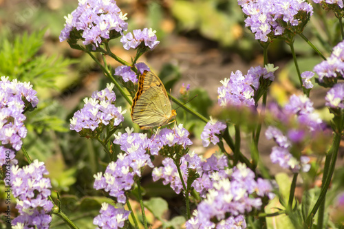 Pearlescent big butterfly on flowers - 232633340