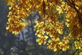 gelb verfärbte Eichenblätter an Ästen - 232638569