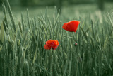 Bright red poppies on a background of green wheat field. Poppy flowers in a green field of spikelets.