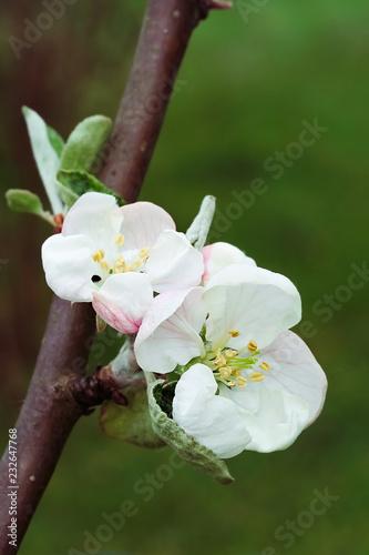 Apple flowers, retro filter effect