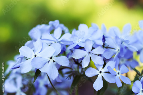 Phlox divaricata flowers