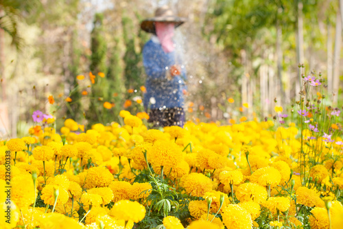 Leinwandbild Motiv Farmer to water the Marigold and Cosmos are in bloom, Marigold and Cosmos are preventing the spread of Pest insects. Summer season. Thailand.