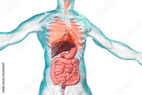 Leinwandbild Motiv Human body anatomy, respiratory and digestive system