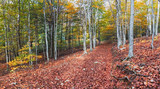 Autumn Beech Forest in the Montseny Natural Park, Catalonia - 232653199