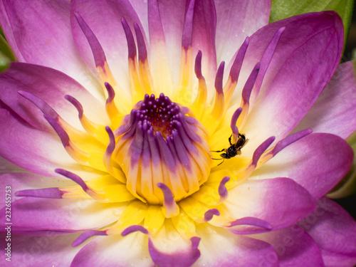 pink lotus flower - 232655753