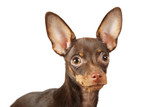 Portrait of a toy terrier dog